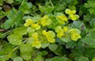 Golden-leaved Saxifrage